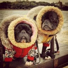 French Bulldogs in Parkas. Funny Animal Pictures, Funny Animals, Cute Animals, Funny Pets, French Bulldog Puppies, French Bulldogs, Pug Puppies, Best Dogs, Pugs