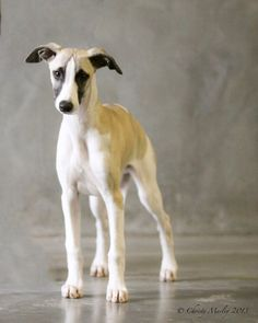 Tanner whippet puppy at 4 months