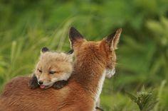 Fox...that little tongue is cute