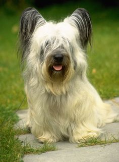 """Skye terrier – looks like a little """"Briard""""! Skye terrier – looks like a little """"Briard""""! Skye terrier - looks like a little """"Briard""""! Skye Terrier, Terriers, Boston Terrier, Terrier Dog Breeds, Terrier Puppies, Scottish Terrier, Terrier Mix, Pet Dogs, Dogs And Puppies"""