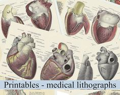 Anatomically correct heart digital by ScrapbookingPrints on Etsy