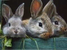 Baby bunnies in a box Animals And Pets, Baby Animals, Cute Animals, Beautiful Creatures, Animals Beautiful, The Magic Faraway Tree, Tier Fotos, Cute Bunny, Adorable Bunnies