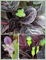 Calathea roseopicta Calathea, Plant Care, Vegetables, Green, Nature, Plants, Beautiful, Gardening, Leaf Template
