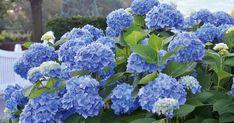 Ob gießen, düngen oder richtig schneiden: Wenn Sie diese 5 Tipps zur Hortensien-Pflege beachten, dankt Ihnen Ihre Hortensie das mit gesundem Wuchs