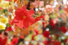 Wonderful blossoms ...  ベゴニアガーデン | 極彩色の楽園