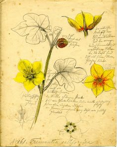 Fremontia californica, Rudolf #Blaschka, c.1892-1895 (CMGL 132122)   Rakow Research Library