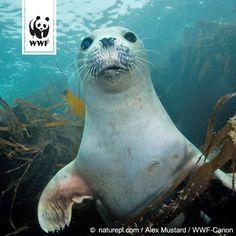 Auf den Nordseeinseln werden in den letzten Tagen zunehmend tote Seehunde gefunden. Bislang sind es über 150  Unter was sie leiden? Hier findet ihr mehr Infos: www.wwf.de/bild-des-tages