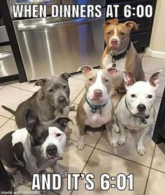 Pit Bull is a type of dog breed which are admire by Dog Lovers. Pit Bull have friendly nature and they will easily adapt yourself. This quality of Pit Bull is a reason why this breed is loved by everyone. Lets take a look at top 28 Dog Memes Pit Bull Funny Animal Jokes, Funny Dog Memes, Cute Funny Animals, Animal Memes, Cute Baby Animals, Pet Memes, Funny Pugs, Funniest Memes, The Animals