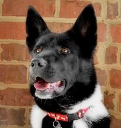Becky is an adoptable Akita Dog in Charlotte, NC.  Becky is looking for a running partner OR someone with a fenced yard so she can run and play. She is a very affectionate young girl who loves to gr...
