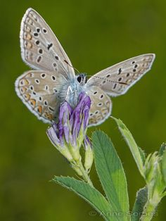 .~Common Blue (Polyommatus icarus)~.