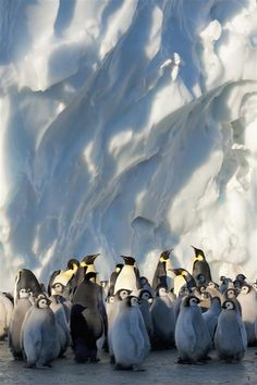Frozen Planet - Emperor penguins and chicks in the Ross Sea Ice Shelf, Antarctica. Penguins And Polar Bears, Baby Penguins, Penguin Baby, Beautiful Birds, Animals Beautiful, Cute Animals, Cute Creatures, Beautiful Creatures, Art Beauté
