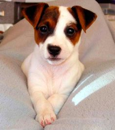 Find images and videos about cute, dog and jack russel terrier on We Heart It - the app to get lost in what you love. Jack Russell Terriers, Jack Russell Dogs, John Russell, I Love Dogs, Cute Dogs, Bull Terrier Dog, Terrier Mix, Family Dogs, Training Your Dog