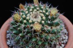 Mammillaria karwinskiana