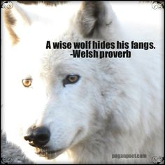 A Wise Wolf Hides His Fangs.   ~Welsh Proverb