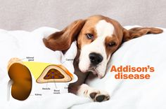 Addison's disease, or hypoadrenocorticism, affects a dog's adrenal glands of the kidneys. Addison's disease causes low sodium and high potassium by limiting the production of certain hormone… Pet Insurance For Dogs, Pet Insurance Reviews, Dog Health Tips, Pet Health, Cushing Disease, Addison's Disease, Dog Illnesses, Healthy Pets, Natural Treatments