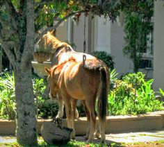 Wild horses drinking from the hotel fountain