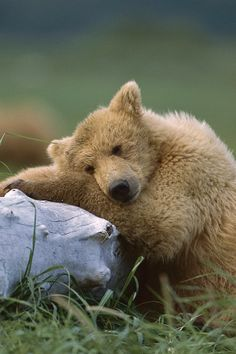 Brown Bear Cub                                                                                                                                                                                 More