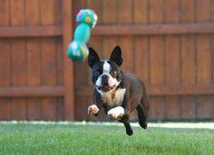 looks like he's flying! #bostonterrier