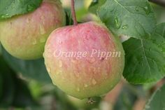 Herefordshire Redstreak cider apple tree. Cider variety of apples dating to the English Civil War.