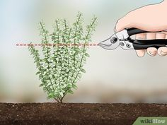 How to Prune Thyme. When growing thyme, you need to regularly prune it throughout the years in order to promote a good shape of the herb and encourage continual growth. Thyme that has become overgrown due to a lack of pruning will be very. Fruit Garden, Edible Garden, Herbs Garden, Growing Herbs, Growing Vegetables, Thyme Plant, Vegetable Garden Design, Container Gardening, Greenhouse Gardening