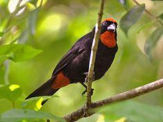 Puerto_Rican Bullfinch - Loxigilla portoricensis. By Carlos David Hernández
