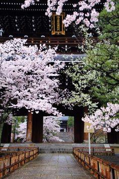京都の桜の名所の金戒光明寺の満開の桜と山門と石段