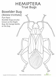 These are for the bug-lovers! Learn the insect orders with fact-filled coloring pages.