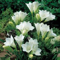 Pure glistening white single freesia, a commercial cut flower variety. Fragrant, 40cm. Click Add to view pricing and select the pack size required.
