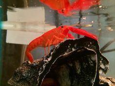 Tangerine Lobster (also known as Tangerine Crayfish)