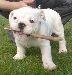 Gizmo, the English Bulldog pup at 9 weeks old