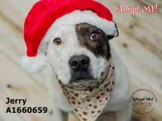 LAST CALL! LAST CALL! LAST CALL! JERRY (A1660659) I am a neutered male white and black brindle American Bulldog mix. The shelter staff think I am about 2 years old and I weigh 12 pounds. I was found as a stray and I am available for adoption. — hier: Miami Dade County Animal Services. https://www.facebook.com/urgentdogsofmiami/photos/pb.191859757515102.-2207520000.1418168438./886034241430980/?type=3&theater