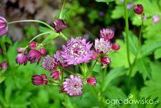 Astrantia major - jarzmianka większa - strona 5 - Forum ogrodnicze - Ogrodowisko Astrantia Major, Plants, Plant, Planets