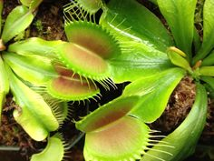 Venus Flytrap - my mom would buy these for us all the time when we went to Franks Nursery.  They are awesome!