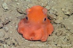 Flapjack octopus - curiously adorable