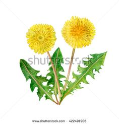 stock-photo-watercolor-drawing-of-spring-flowers-taraxacum-blowball-hand-drawn-painting-of-beautiful-422491906.jpg (450×470)