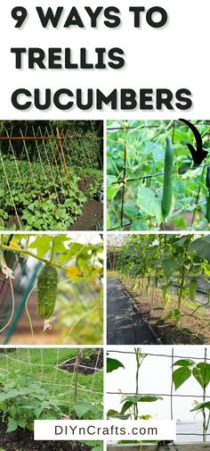 Don't miss these common ways to trellis cucumbers in your garden for a better harvest this summer! Easy ways to use trellis in a garden! This list is full of tips for raising cucumbers and great garden hacks for new gardeners. Cucumber Trellis, Cucumber Plant, Container Gardening, Gardening Tips, Garden Trellis, Bird Houses, Raising, Harvest, Herbs
