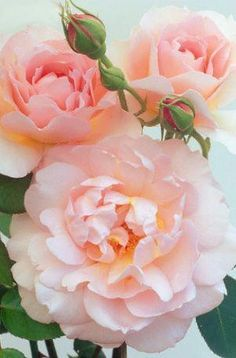 Belle Storey Roses Photographic Print by Clay Perry Love Rose, Pretty Flowers, Pink Roses, Pink Flowers, Exotic Flowers, Yellow Roses, Coral Peonies, Coral Pink, Roses David Austin