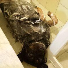 Depois de um fim de semana no sítio  chego em casa exausta! Banho de espuma para relaxar!  #mutt #mixedbreed #viralataedai #viralata #pawsomemutt #instadog #instamutt #dogbath #washmehuman