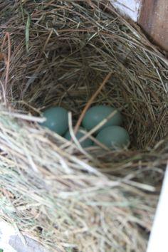 Western Bluebird Eggs - El Dorado Regional Park