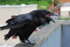 images of crows - Google Search