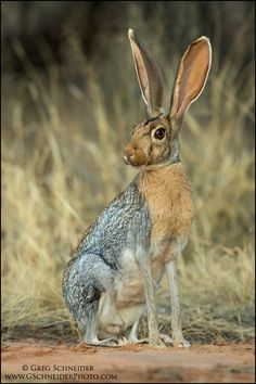 Adult Antelope Jackrabbit at dusk (Lepus alleni)