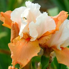 Iris germanica Blazing Sunrise - 1 plant buy online order now