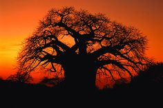 Limpopo - beautiful silhouette of Baobab Tree Baobab Tree, Sunset Wallpaper, Best Sunset, Tree Silhouette, Fantastic Art, Wild Flowers, Places To See, South Africa, Beautiful Places