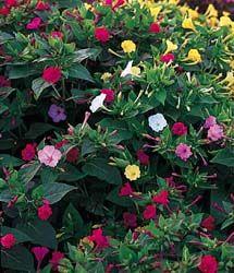 4 o'clock flowers | EasyBloom :: Four O'Clock - Mirabilis multiflora 'Tea Time Series ...