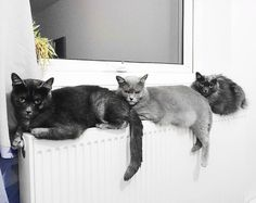 That moment when the cats discover what radiators are for 😹.....#mycats #monkitz #lila #murmur #darkmaskedcats #catsofinstagram #catsinbed #funnycats #cutecats #greycats #karpati #purrpurr #caturday #catlife #catsoftheday #cozyday #catsofinsta #sleepycats #meow #cattime #catfamily #winteriscoming #furfamily #🐱 #😻 #ilovemycats  #Regram via @darkmaskedcats Kittens Cutest, Cute Cats, Funny Cats, Beautiful Cats, Animals Beautiful, Living With Cats, Cat Silhouette, All About Cats, Cat Quotes