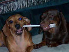 doxie dentist