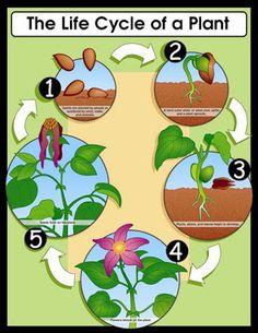 Az életciklus egy növény   learningenglish-ESL