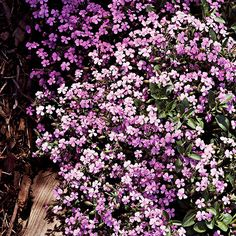 Soapwort  This relatively unknown plant deserves a lot more attention. It's a cinch to grow and features clusters of phlox-like pink, purple, or white flowers in summer and fall. From Better Homes and Gardens