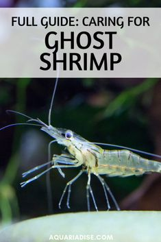 They're often used as live food but actually make fun aquarium pets as well. Find out everything you need to know about ghost shrimp! Pet Shrimp, Ghost Shrimp, Shrimp Tank, Tropical Fish Aquarium, Aquarium Fish Tank, Planted Aquarium, Aquarium Ideas, Planted Betta Tank, Diy Aquarium