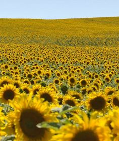 Sunflowers in France A sunflower field in Dombasle-sur-Meurthe, France, for some pure and simple happiness. It's no wonder Vincent van Gogh was obsessed with the sunflower.